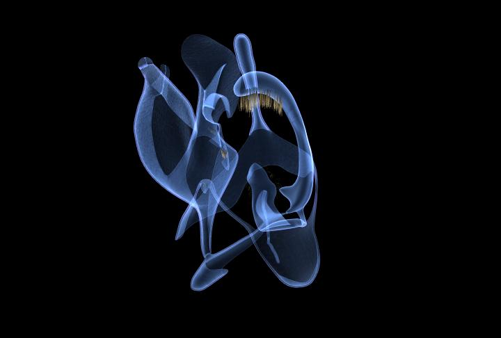 frame of animation of genitalia of micro-moth species in the Tineidae family