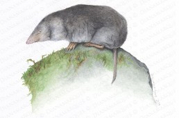 Watercolor Illustration of a northern short-tailed shrew
