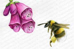 watercolor illustration of bumble bee and foxglove