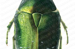 acrylic illustration of dorsal view of rose chafer beetle