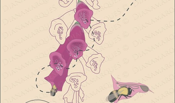 schematic digital illustration of the process of pollination of foxglove flowers by a honey bee