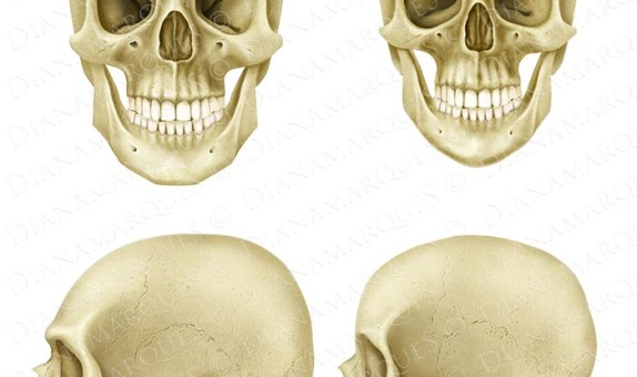 digital illustration of comparison between caucasian male and female skulls