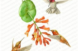 watercolor illustration of three North American west coast native species of hummingbirds