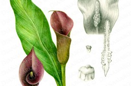 watercolor botanical illustration of a calla lily