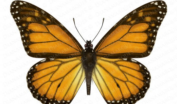digital illustration of dorsal view of monarch butterfly