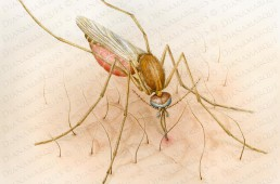 watercolor of a mosquito Culex pipiens biting