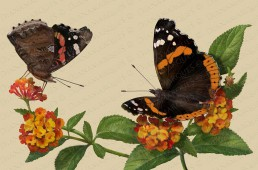 digital illustration of two Red Admiral butterflies in their habitat