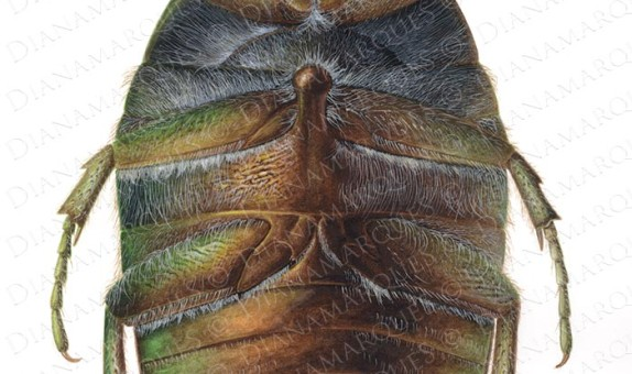 acrylic illustration of ventral view of rose chafer beetle