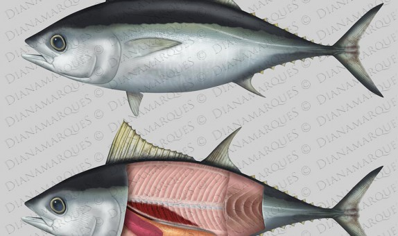 digital illustration of external and internal anatomy of a tuna