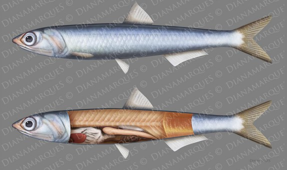 digital illustration of external and internal anatomy of an anchovy