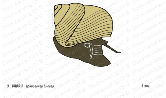 Digital illustration of marine snail to be printed in raised lines and with braille caption