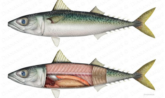 digital illustration of external and internal anatomy of a mackerel