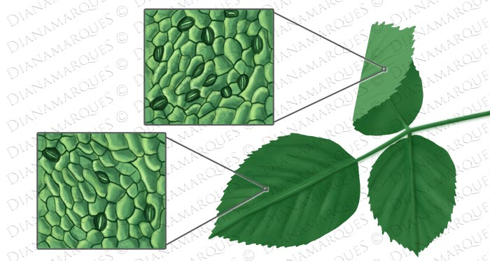 textbook diagram of stomata