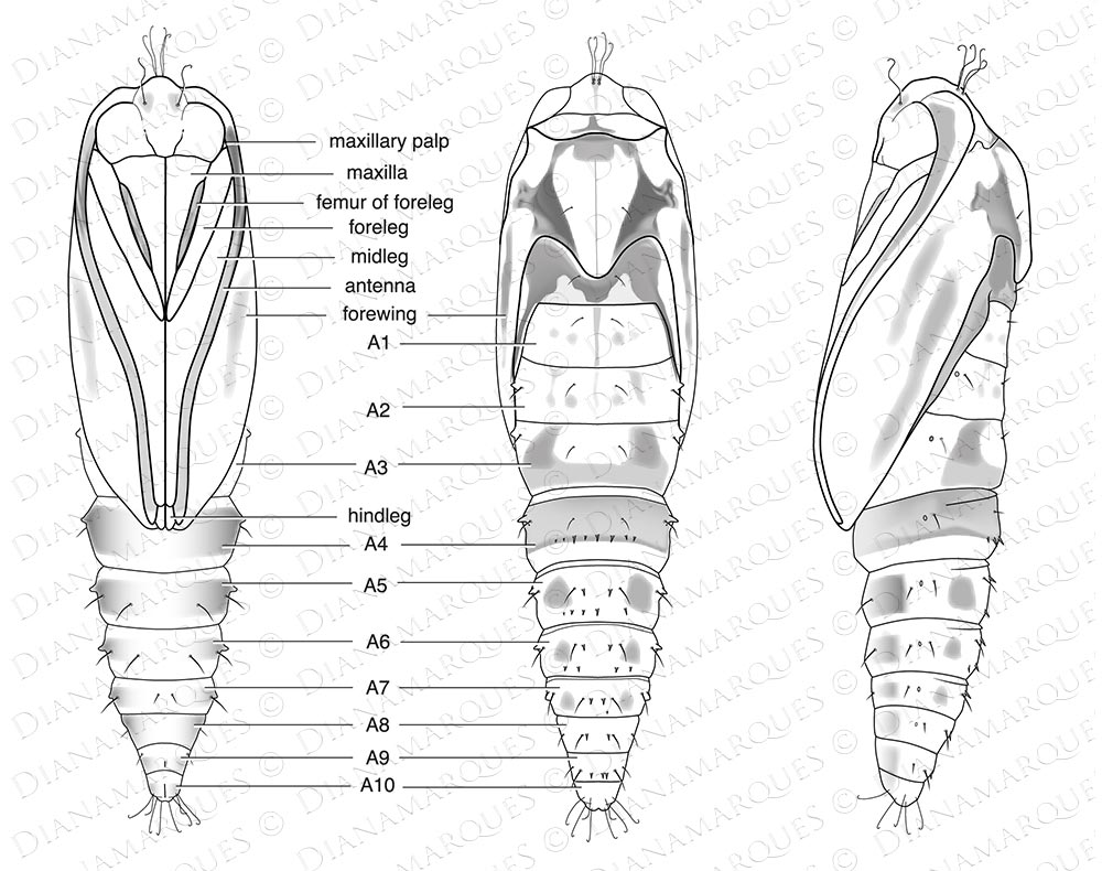 Insect Illustrations for Scientific Journals