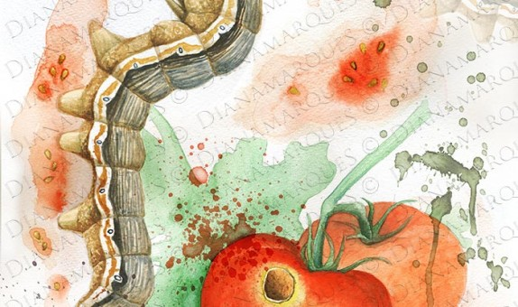 illustration of the cotton bollworm