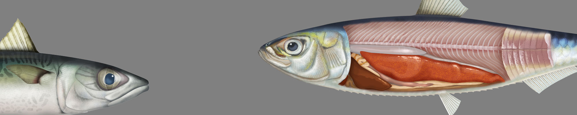 2D digital illustration of a sardine and a mackerel