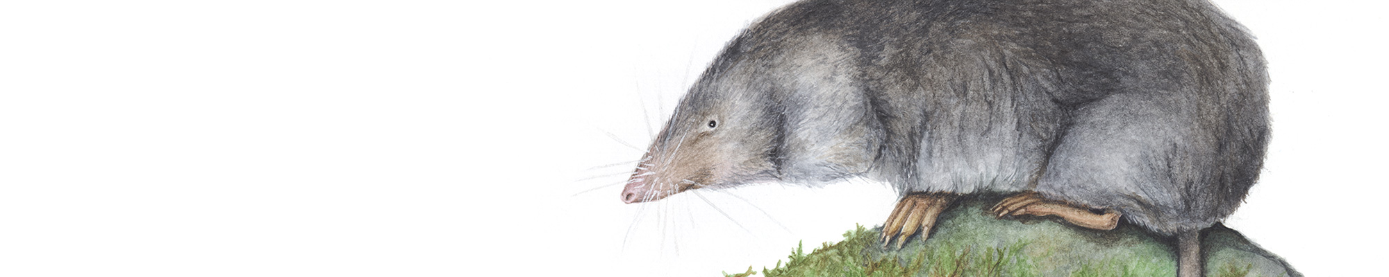watercolor illustration of a short-tailed shrew