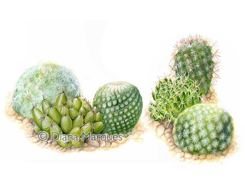gouache illustration of different species of Mamillaria cacti © Diana Marques