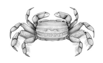 traditional illustration of a crab © Diana Marques