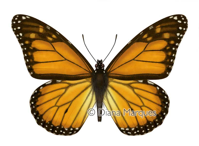 digital illustration of monarch butterfly © Diana Marques