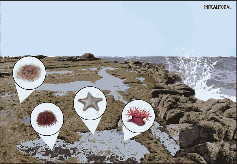 digital illustration of marine intertidal zone © Diana Marques