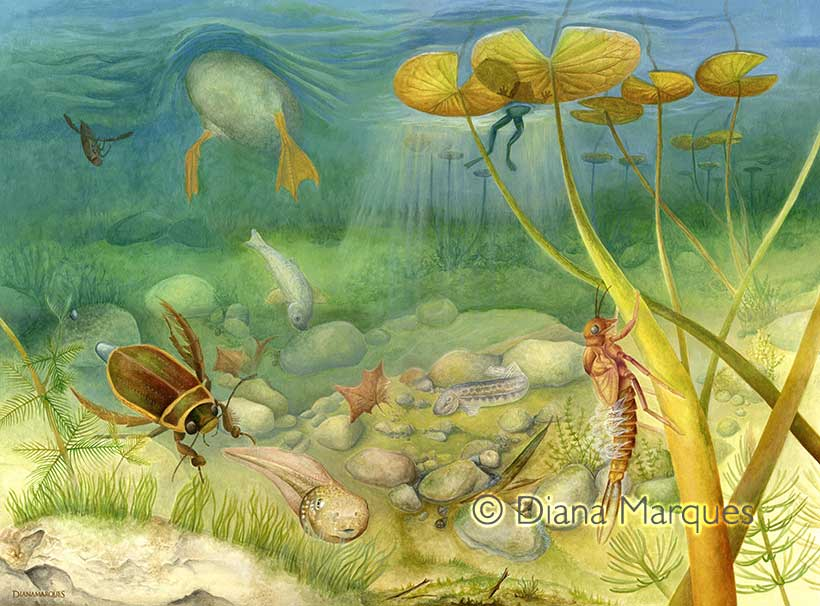 acrylic illustration of the underwater view of a pond © Diana Marques