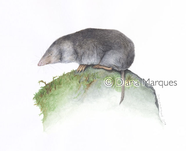 watercolor illustration of a shrew © Diana Marques