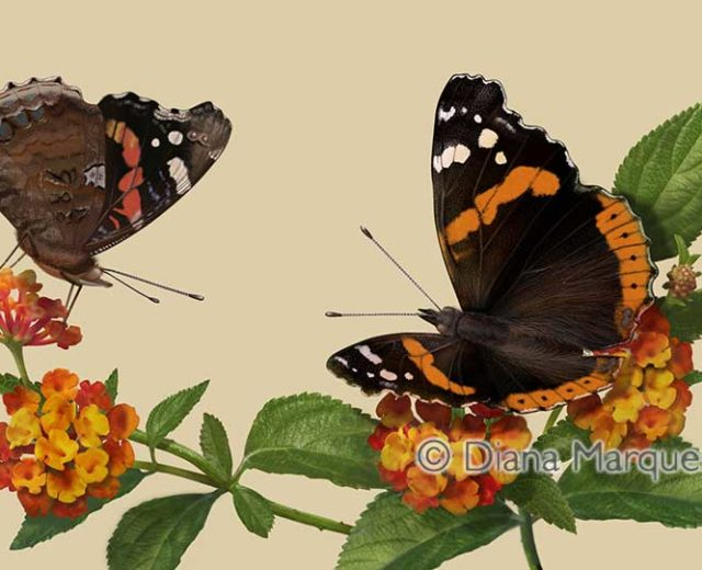 digital illustration of Vanessa atalanta butterfly © Diana Marques