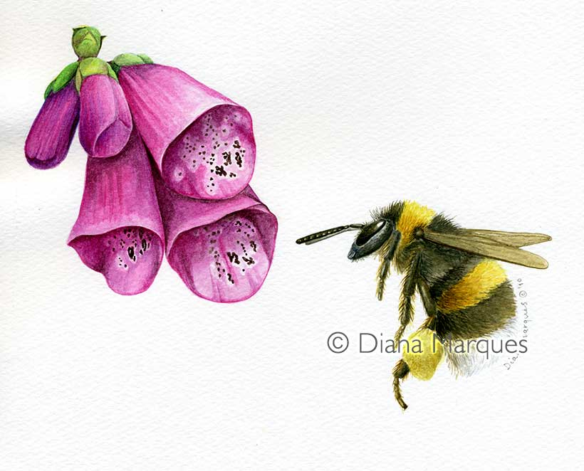 watercolor illustration of bumblebee and foxglove © Diana Marques