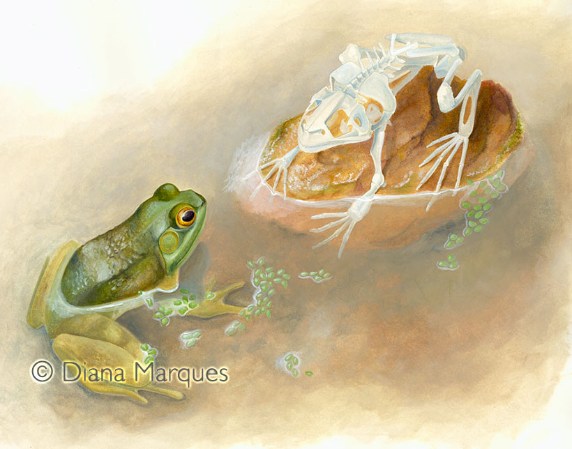traditional illustration of bullfrog looking at its skeleton © Diana Marques