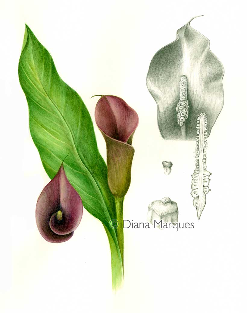 Botanical plate of calla lily © Diana Marques