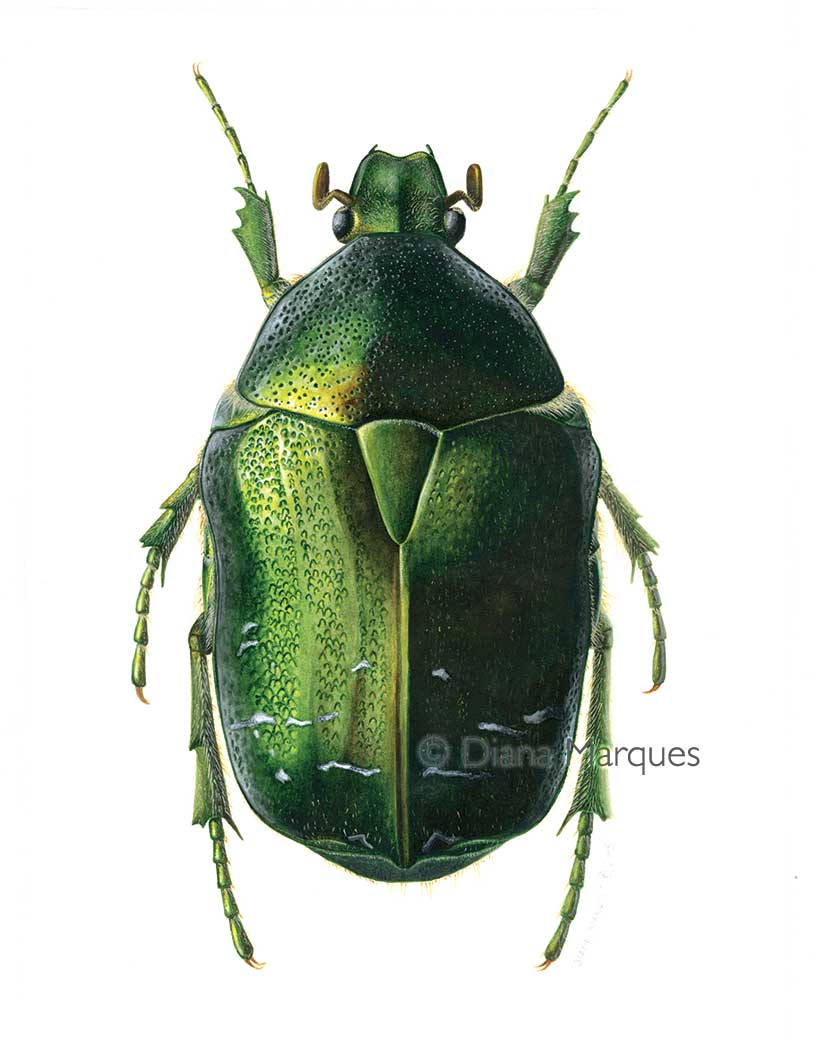acrylic illustration of Cetonia beetle dorsal view © Diana Marques