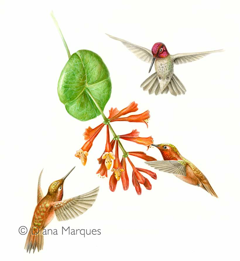 watercolor illustration of three hummingbirds © Diana Marques