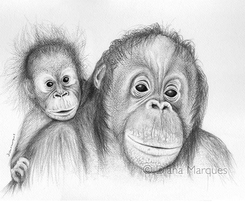 Graphite illustration of mother and baby orangutan ©Diana Marques