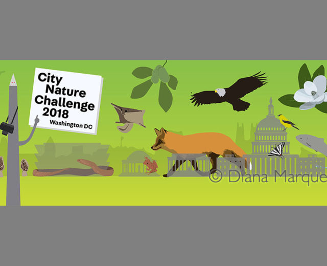 Digital Illustration for web banner of the City Nature Challenge 2018 Washington DC ©Diana Marques