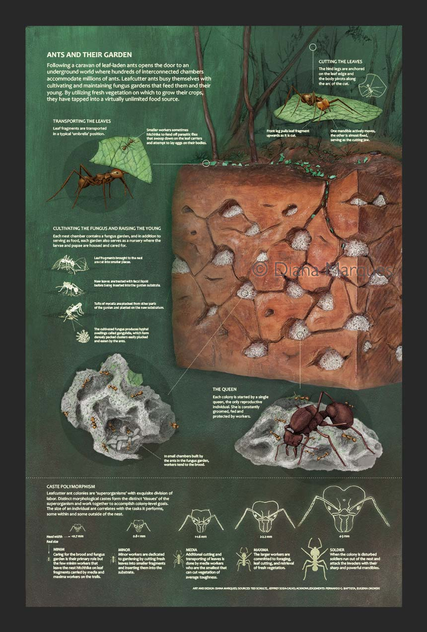 Ants and Their Nest infographics representing leafcutter ants ©Diana Marques